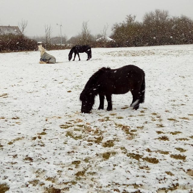 Ponies in the snow! welliesoncic carefarming snow snowy snowday coldhellip