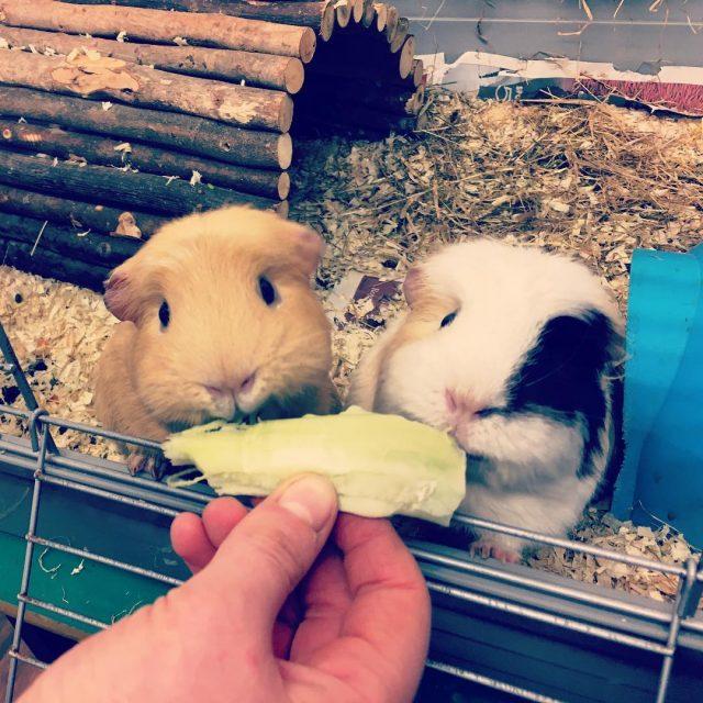 Pluto and Meadow enjoying a cauliflower leaf Who knew theyhellip