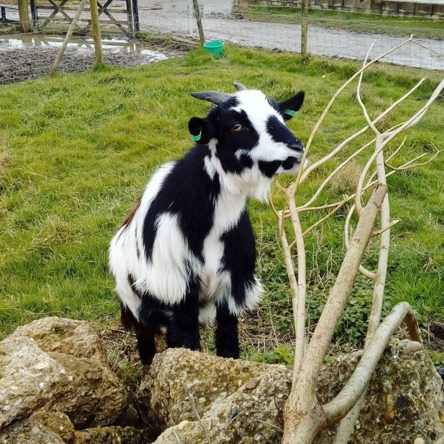 Moo loves the willow branches weve given her pygmygoats cutehellip