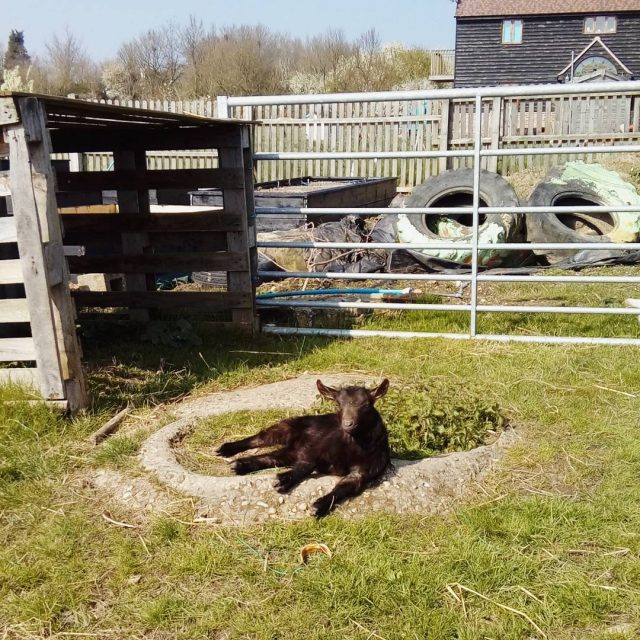 erlinathepygmygoat sunbathing today goats pygmygoats cute funny carefarming colchesterLearn more