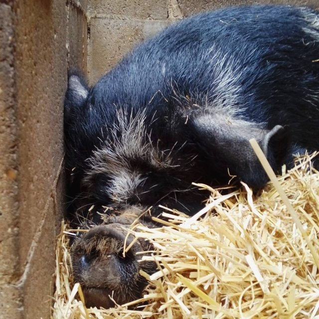 Geraldine the Kune Kune pig all snuggled up inside geraldinethepighellip