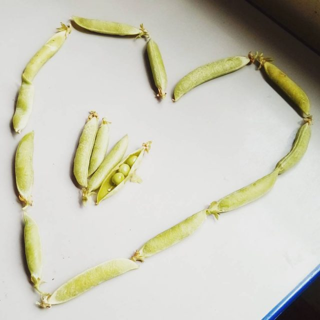 We love our homegrown peas! welliesoncic wellieson carefarm carefarming gardeninghellip