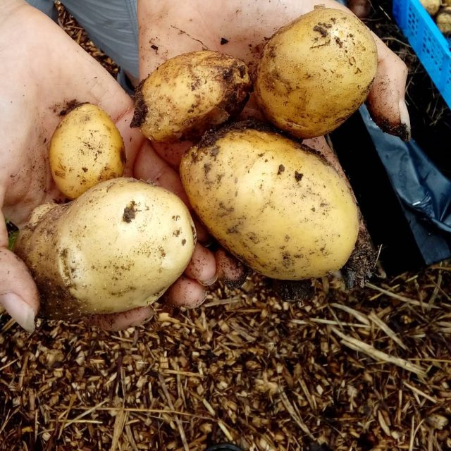We have so many potatoes! welliesoncic wellieson carefarm carefarming potatohellip