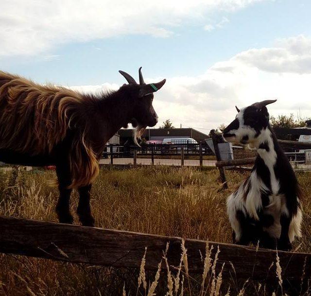 Moo and Roche  welliesoncic wellieson goat goats pygmygoats pygmygoathellip