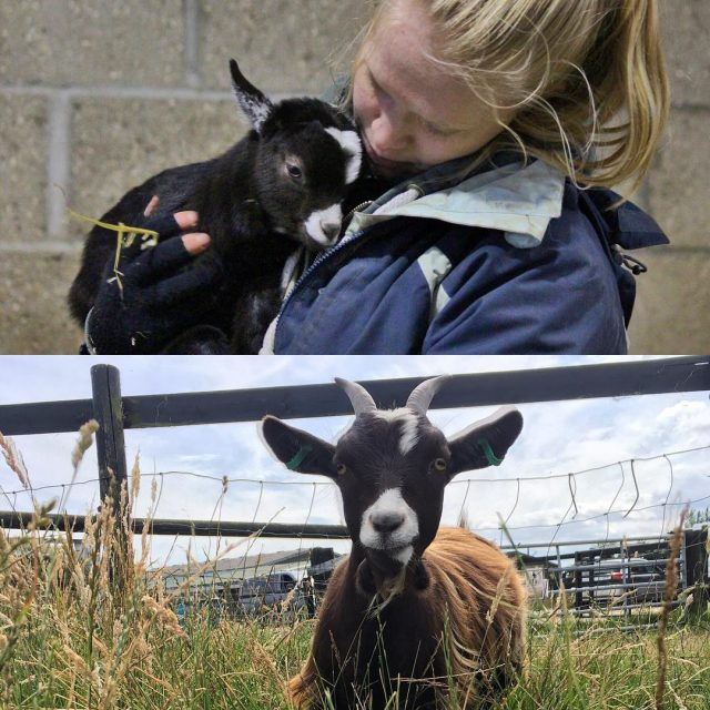 throwbackthursday to when Roch was cute and cuddly goat welliesoncichellip