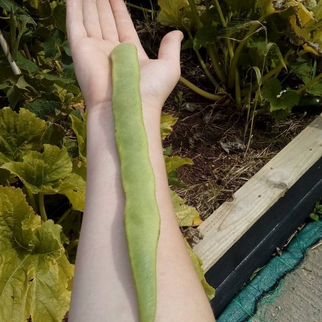 A massive runner bean harvested yesterday here at WelliesOn! welliesoncichellip