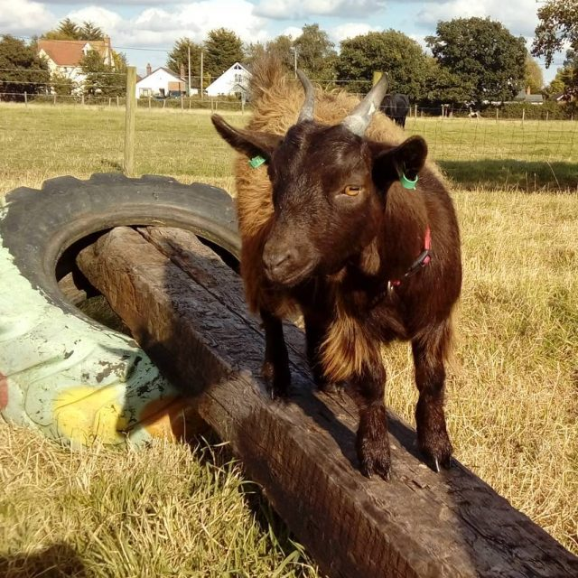 Erlina is growing up! welliesoncic wellieson carefarm carefarming goat goatshellip