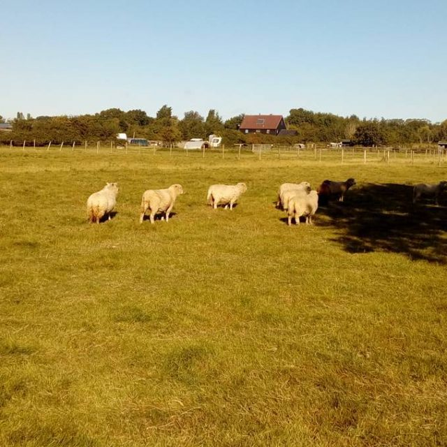 Our sheep herd having a stroll in the sun hellip