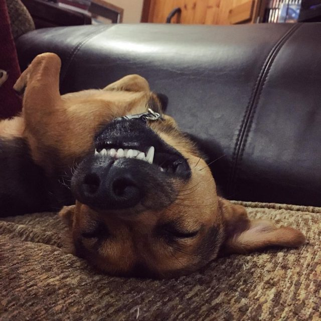 Sleeping Angus welliesoncic jackrussell terrier puppy dog cute funny sleepinghellip