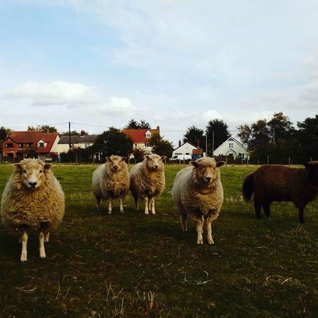 5 ewelambs come to investigate! welliesoncic wellieson sheep cute octoberhellip